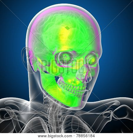 3D Render Medical Illustration Of The Human Skull