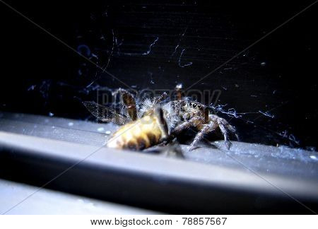 Spider eat bee