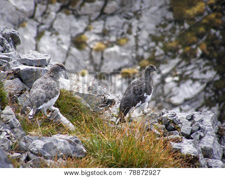 A pair of alpine partridges