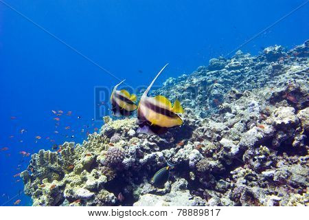 Colorful Coral Reef With Exotic Fishes At The Bottom Of Tropical Sea On Blue Water Background
