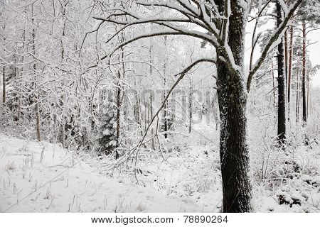 Snowy Tree In The Winter