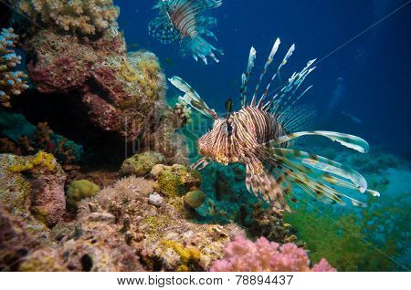 Lionfish among colorful small fishes at the coral reef underwater