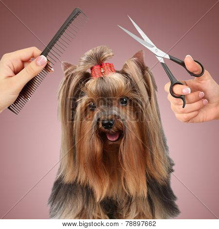 Yorkshire Terrier Grooming At The Salon For Dogs Poster Id78897662
