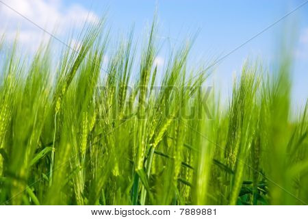 Green Wheat Field.