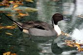 stock photo of pintail  - beautiful Pintail Duck at the San Antonio Zoo - JPG