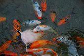 stock photo of koi fish  - Colorful Koi Fish swimming in a pond - JPG
