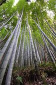 Постер, плакат: Bamboo Grove Bamboo Forest At Arashiyama