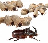 image of oryctes  - Rhinoceros beetle and larva the rhinoceros on a white background - JPG