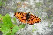 stock photo of butterfly-bush  - orange butterfly Argynnis on a green bush closeup - JPG