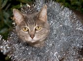 stock photo of blue tabby  - Blue tabby cat with silver tinsel - JPG