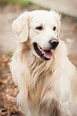picture of golden retriever puppy  - young golden retriever dog in autumn park - JPG