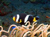 stock photo of clown fish  - The surprising underwater world of the Bali basin, fish-clown ** Note: Visible grain at 100%, best at smaller sizes - JPG