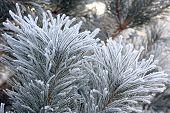 picture of conifers  - Winter frost landscape - JPG