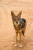 pic of jackal  - A wild jackal in the namibian desert - JPG
