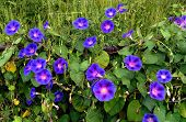 picture of ipomoea  - morning glory are blooming in the outdoor - JPG