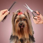 picture of yorkshire terrier  - Yorkshire terrier grooming at the salon for dogs - JPG