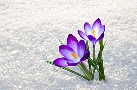 stock photo of fragile  - First blue crocus flowers spring saffron in fluffy snow - JPG