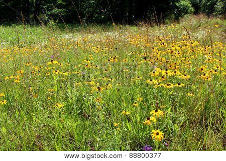 Field Of Black-eyed Susan Wildflowers, Rudbeckia Hirta, Wildflowers In Midwest Usa
