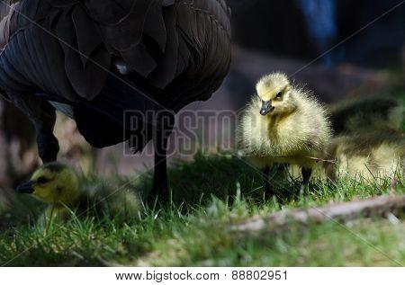 Newborn Gosling Walking In The Green Grass Beside Mom