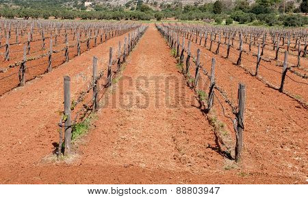 Grape Vineyard Field In Spring
