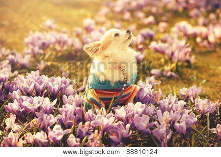 Chihuahua dog and gentle purple crocus flowers
