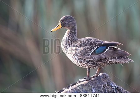 Yellow Billed Duck Standing On Branch And Preen