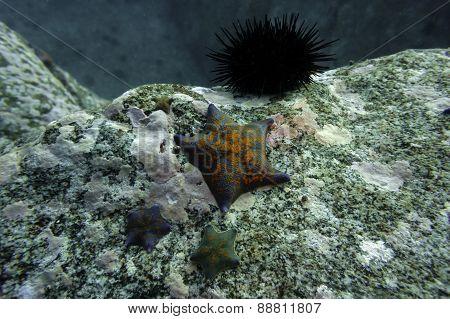 Sea star Asterina (Patiria) pectinifera
