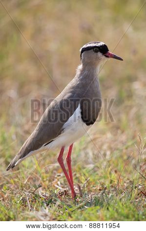 Crowned Plover Walking On Short Grass Looking For Insets