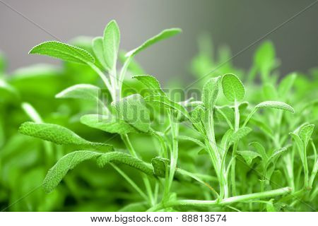 Sage - Salvia officinalis gray background