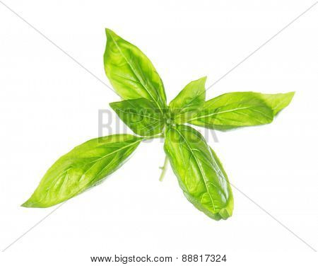 Sweet basil leaves isolated on white background.