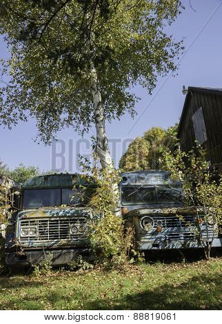 Old school buses parked up under birch tree.