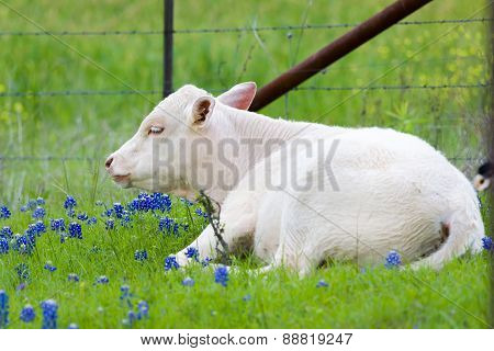 Young Calf In A Bluebonnet Pasture