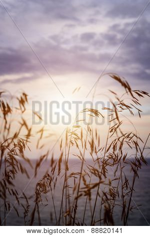 Tall grass stalks closeup against setting sun over lake