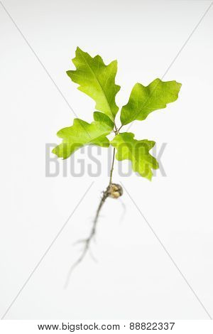Oak Seedling Top View
