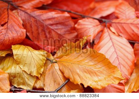 Closeup of orange and yellow shades of dried leaves during Autumn