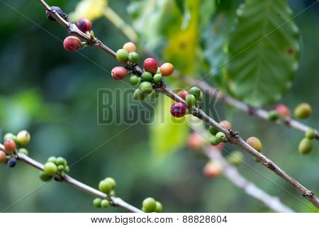 Red and green Coffee berries on the tree