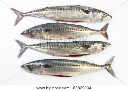 Four Mackerel Fish