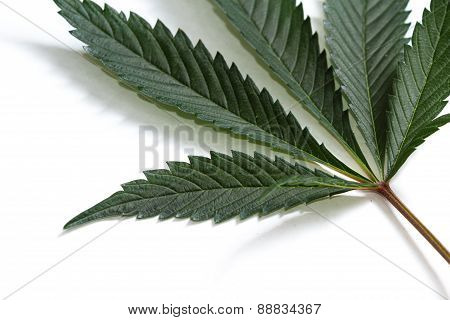 Classic Marijuana Leaf