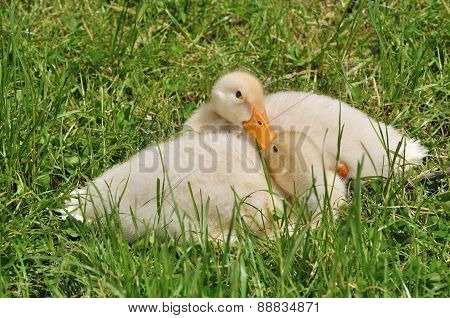 Two Ducklings Laying On The Grass