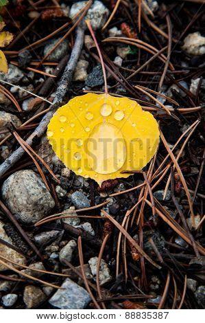 Rain Drops Over Yellow Aspen Leaf