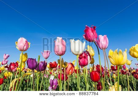 Colorful Tulip Farm And Blue Sky
