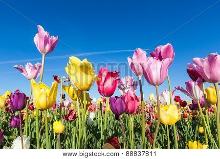 Colorful Tulips in farm And Blue Sky