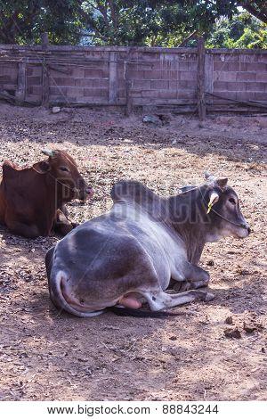 Thai Cows In Farm