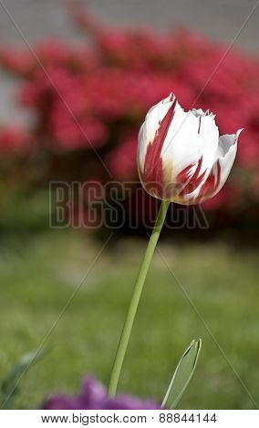 The tulip mottled