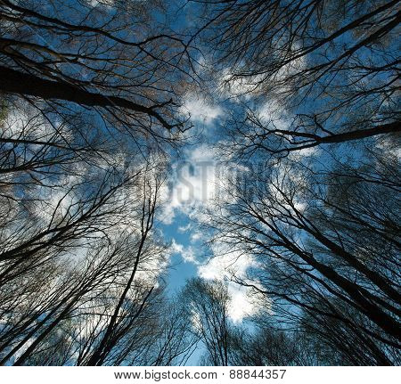 Crowns And Branches Of Tall Trees On Blue Sky Background With White Clouds