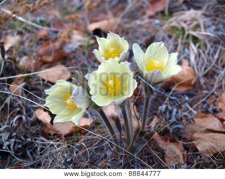 Pulsatilla Flavescens Flowers