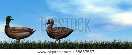 Mallard ducks walk - 3D render