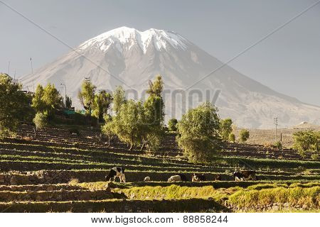 Inca's Gardens With Farm Animals And Volcano Misti