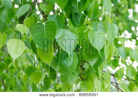 Bodhi Leaf From The Bodhi Tree