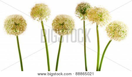 Onion Blossoms Isolated .